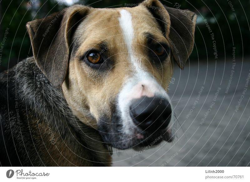 Kratzer abgekriegt? Hund Mischling Schnauze Tier Haustier podenco canaris striemen Ohr Blick straßenhund
