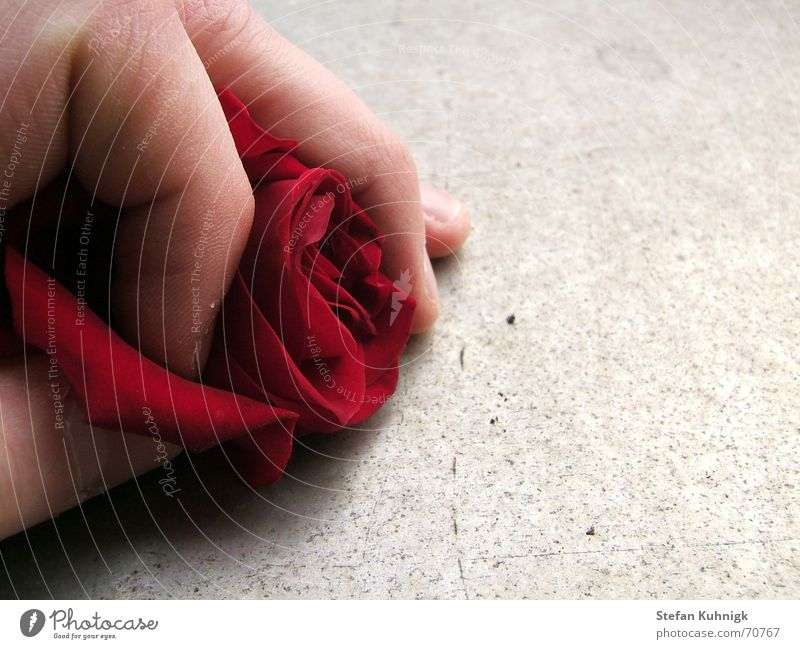 Nutzlos Hand rot Haut Finger Rose Stachel Rosenblätter