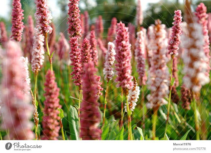 wiese Wiese rot Gras grün Natur Pflanze Garten Landschaft