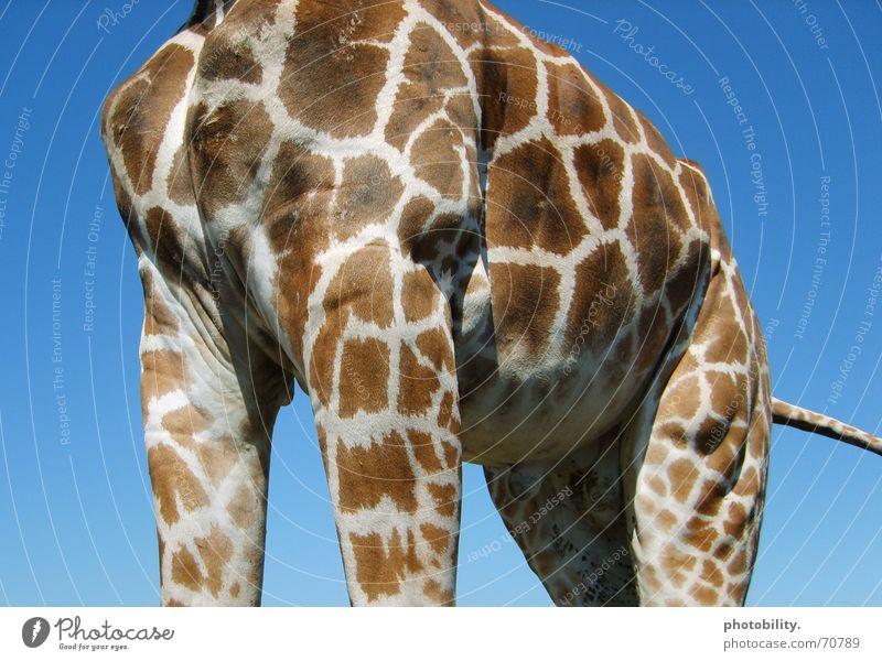 Eine Giraffe bleibt am Boden! Himmel blau Tier groß Macht Afrika Fleck scheckig erhaben Giraffe beeindruckend gewaltig Wiederkäuer