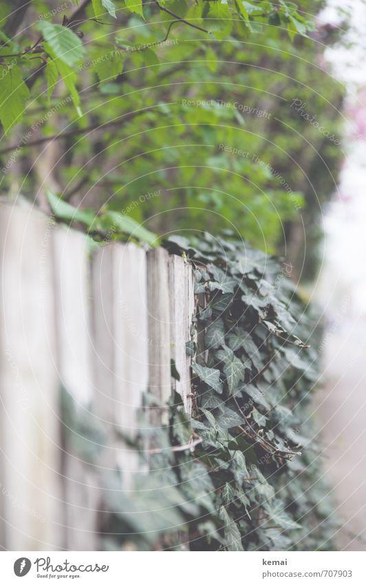 Grüntöne Umwelt Natur Pflanze Baum Sträucher Efeu Blatt Grünpflanze hängen Wachstum frisch grün weiß Zaun Gartenzaun Farbfoto Gedeckte Farben Außenaufnahme