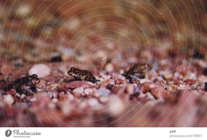 frogs rot Stein 3 feucht Australien Kies