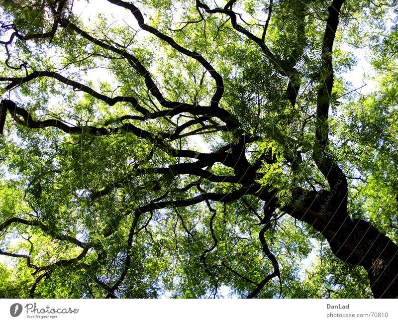 Der Baum Natur Himmel grün Blatt Ferne Garten groß hoch Portugal Lissabon Botanischer Garten