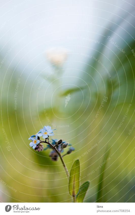 Vergissmeinnicht Umwelt Natur Pflanze Frühling Blüte Vergißmeinnicht Garten Wiese Blühend Wachstum Textfreiraum oben Schwache Tiefenschärfe