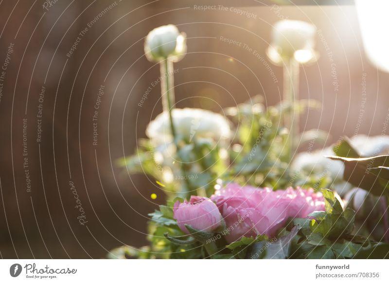 Frühlingssonnenuntergangsstimmung schön grün weiß Pflanze Erholung Blume ruhig Freude Wärme Gefühle feminin Glück natürlich hell rosa