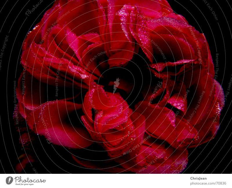 Titellos Wärme Blüte Wassertropfen Romantik Zeichen Rose nah Gift Beweis Malvengewächse Stockrose Warme Farbe