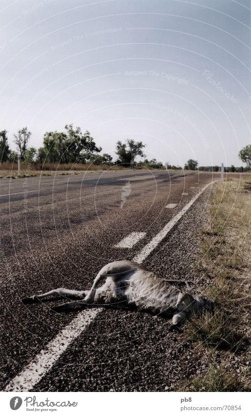 Roadkill Himmel Baum Straße Tod Gras Lastwagen Schilder & Markierungen Verkehr Australien Känguruh Road Train