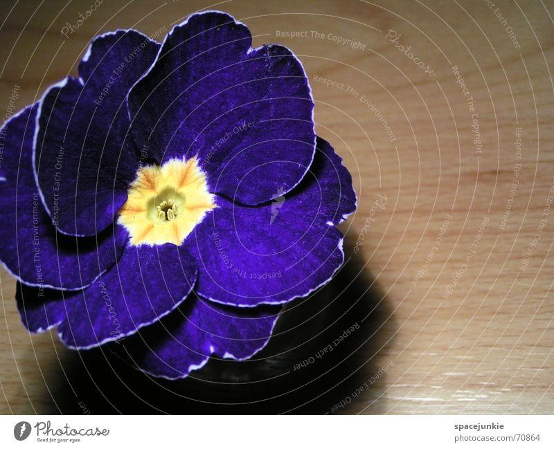 Iris Blume blau gelb Blüte Frühling Holz Bodenbelag Laminat