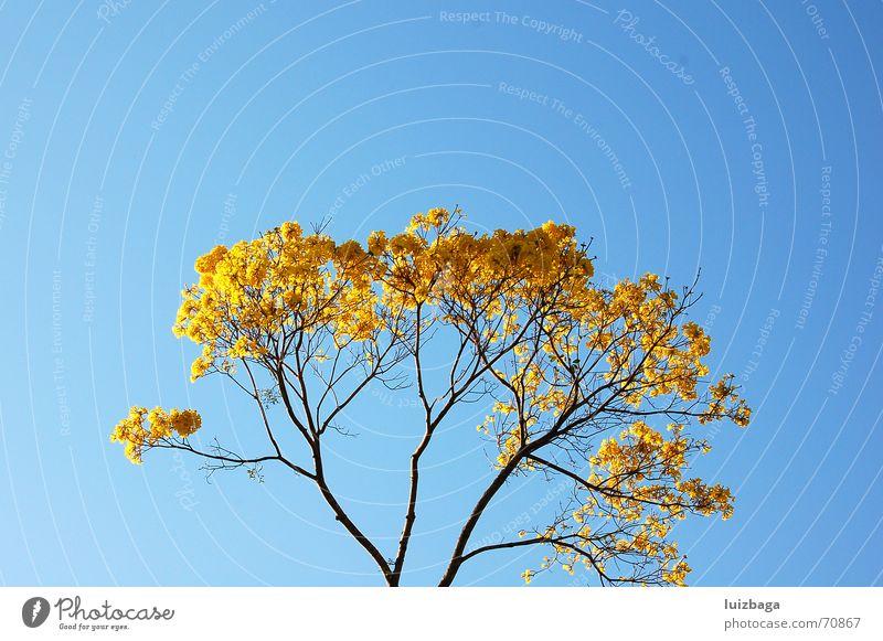 Ipe amarelo Natur gelb Brasilien Blauer Himmel