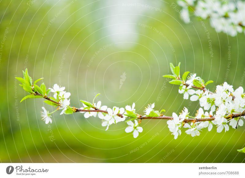 Potenzielle Pflaumen Garten Umwelt Natur Pflanze Frühling Baum Blüte Blühend Wachstum gut schön grün Frühlingsgefühle Vorfreude Optimismus Beginn Schrebergarten