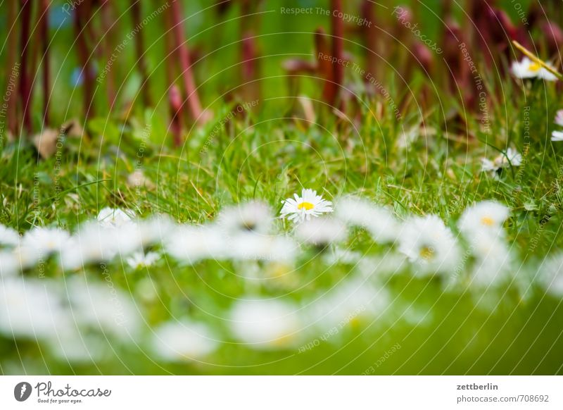 Vorn Gänseblümchen, hinten Pfingstrosen Garten Umwelt Natur Landschaft Frühling Klima Wetter Schönes Wetter Pflanze Baum Blume Gras Blüte Park Wiese Blühend
