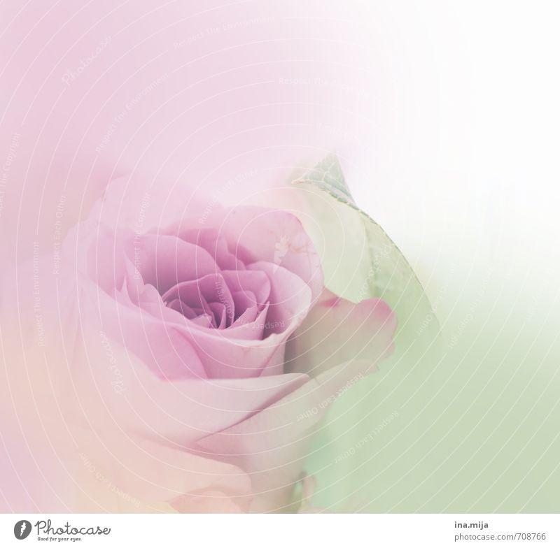 ein Hauch Rose Feste & Feiern Valentinstag Muttertag Umwelt Natur Pflanze Frühling Sommer Blume Garten Blühend unschuldig Pastellton Rosenblüte rosa violett