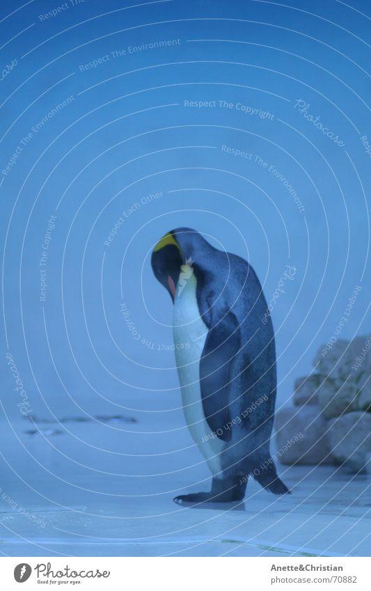 Königspinguin Wasser blau Tier kalt Pinguin Südpol Königspinguine
