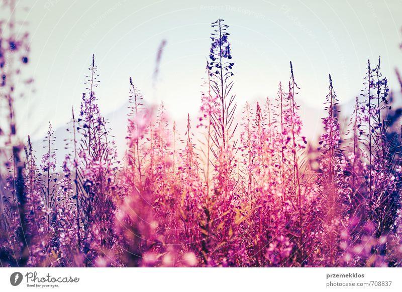 Blüht bei Sonnenuntergang Sommer Umwelt Natur Pflanze Frühling Blume Blüte Wildpflanze Wiese natürlich blau violett rosa botanisch geblümt horizontal purpur