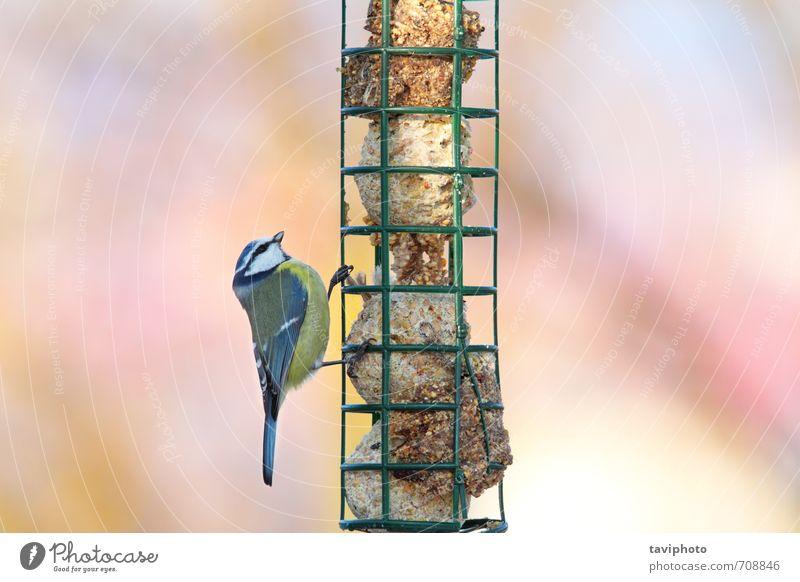parus caeruleus hängend an der Fettfütterung Essen schön Winter Garten Umwelt Natur Tier Vogel beobachten füttern sitzen klein natürlich niedlich wild blau gelb
