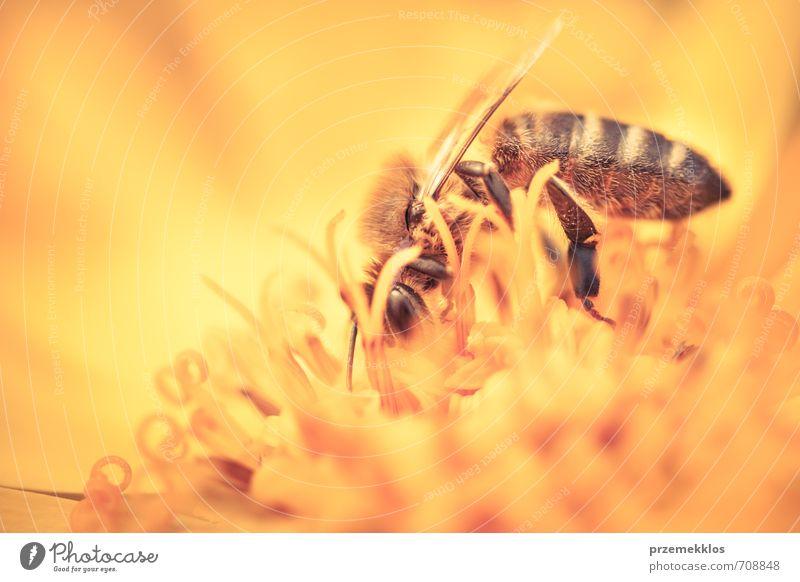 Honigbiene Kräuter & Gewürze Sommer Garten Umwelt Natur Pflanze Blume Blüte Wiese Wildtier Biene Blühend klein natürlich wild gelb gold Botanik Feldfrüchte