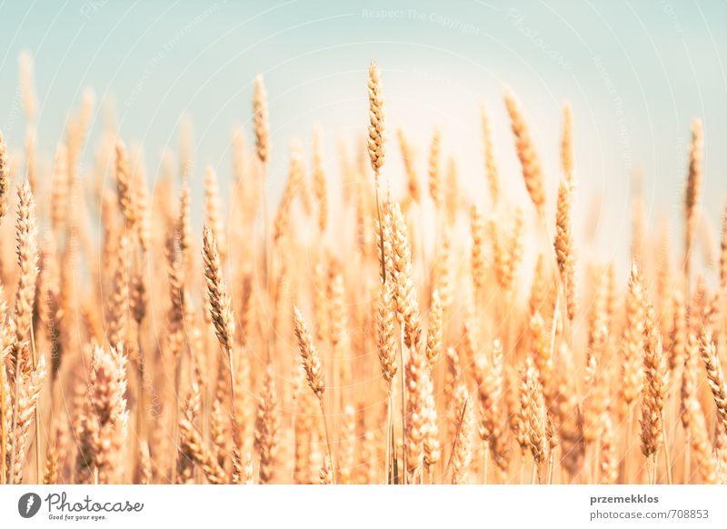 Goldener Weizen Sommer Umwelt Natur Nutzpflanze Wachstum frisch natürlich gelb gold landwirtschaftlich Ackerbau Hintergrund Müsli Mais Kornfeld Land Ohr