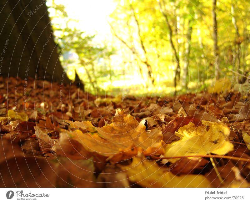 gelber Boden Außenaufnahme Tag Sonnenlicht Unschärfe Froschperspektive schön Natur Herbst Wärme Baum Blatt Wald Wege & Pfade weich Jahreszeiten Physik
