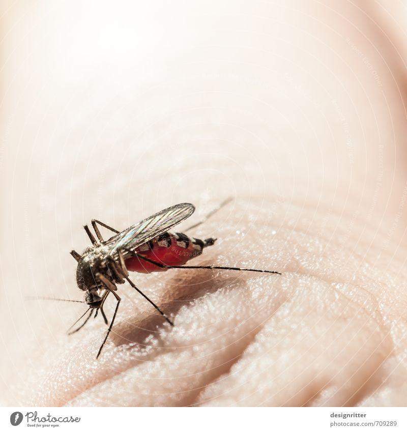 volltrunken Ernährung trinken Sommer Sonnenbad Haut Hand Finger Tier Insekt Stechmücke 1 Essen Fressen hell rot Appetit & Hunger Durst Angst Völlerei gefräßig
