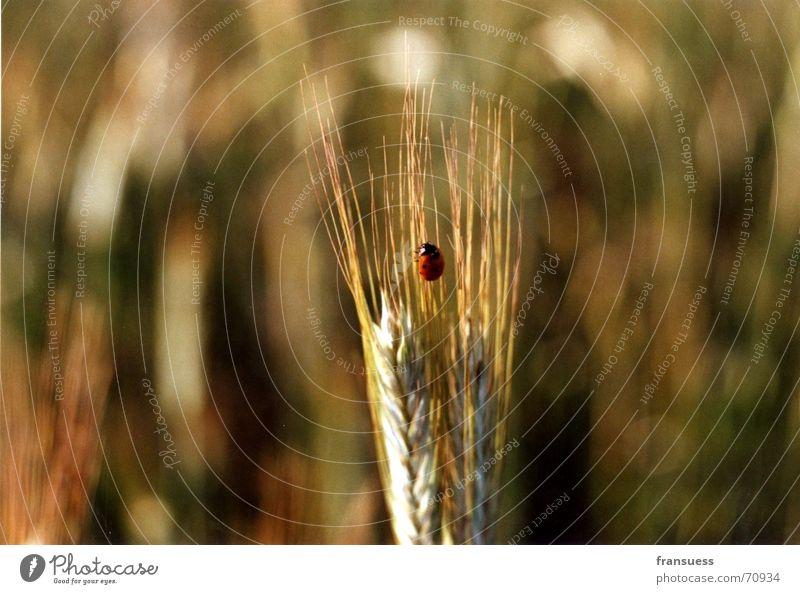 sehr mittig platzierter marienkäfer Natur rot schwarz Insekt Mitte niedlich Marienkäfer Käfer Weizen Ähren friedlich