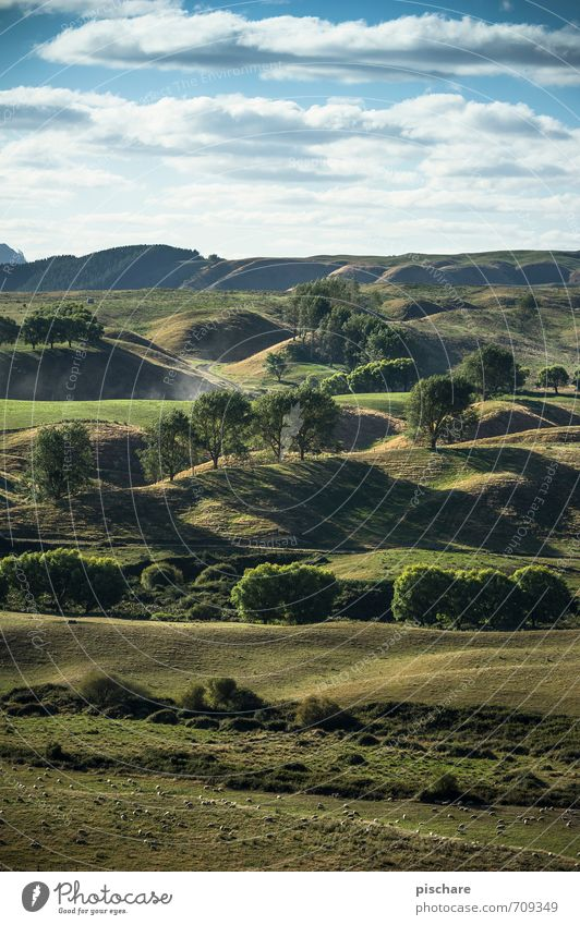 Zweiter Berg Links (+Schafe) Natur grün Baum Landschaft Wiese Gras Hügel Neuseeland