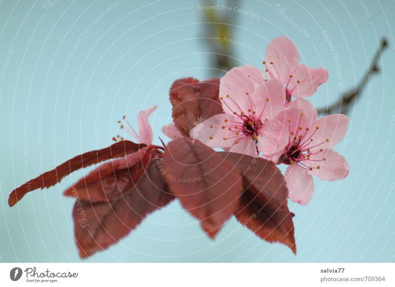 Frühlingsduft Natur Pflanze blau schön Baum Erholung Blatt ruhig Umwelt Blüte natürlich Gesundheit Glück Garten rosa