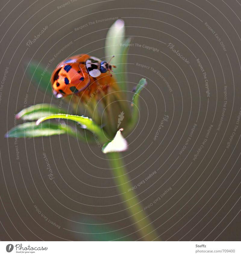 Sommergefühle Umwelt Natur Pflanze Tier Blatt Käfer Marienkäfer krabbeln natürlich schön grün orange Idylle gepunktet leicht Leichtigkeit sommerlich