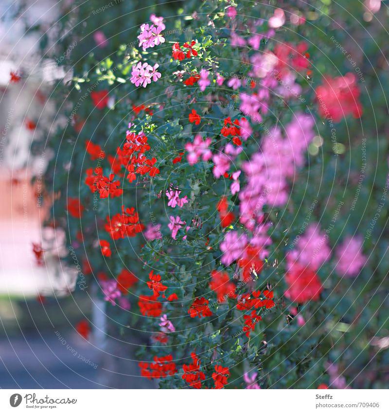 üppige Blumenkaskade Hecke blühende Hecke Pelargonien Geranium Heckenpflanzen Storchschnabel Sommerhecke dunkelgrün Blüten blühende Sommerblumen Sträucher