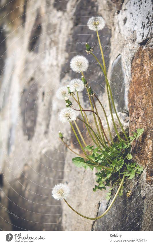niche écologique Pflanze Blume Wildpflanze Löwenzahn Felsen Schnecke Mauerpflanze Mauerstein Stein Wachstum außergewöhnlich natürlich grau grün Natur Umwelt