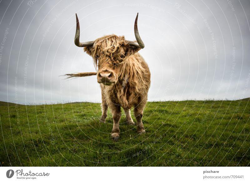 Muh Tier Wiese Neugier Kuh Nutztier Rind Neuseeland Schottisches Hochlandrind