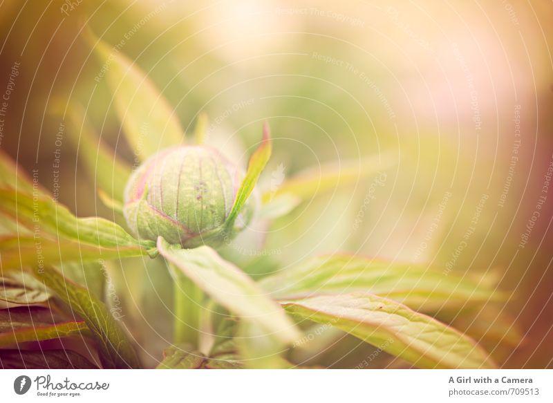 AST 7 I bursting with spring Natur Pflanze Frühling Blume Pfingstrose Garten Park Wachstum frisch natürlich schön Blütenknospen Gedeckte Farben Außenaufnahme