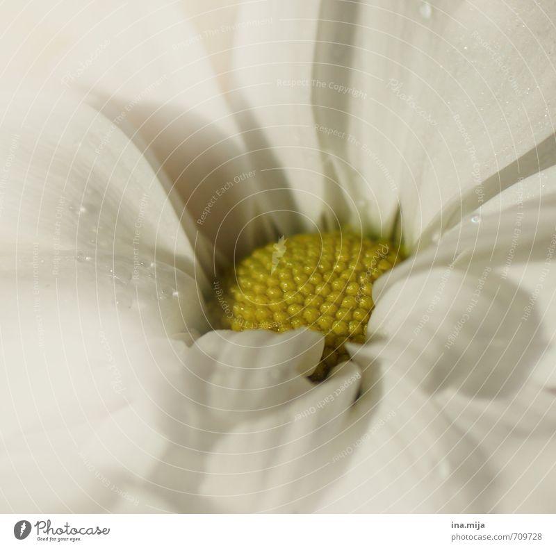 Traum in weiß Natur Pflanze schön Farbe Blume Umwelt gelb Liebe Blüte Garten Feste & Feiern ästhetisch Blühend Romantik Hochzeit