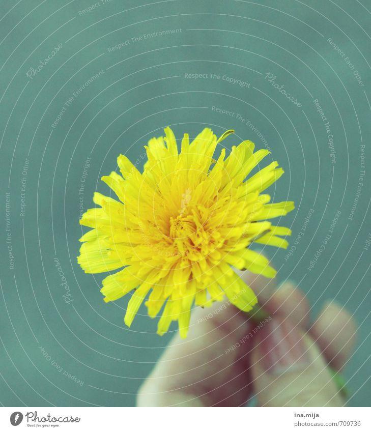 seltene gelbe Blume Umwelt Natur Pflanze Frühling Blüte Grünpflanze Wildpflanze Garten Park Wiese Wald Farbe Vergänglichkeit Löwenzahn festhalten geben