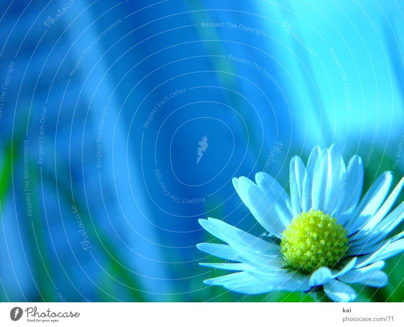 Blüml Blume Gänseblümchen schön zart Natur Naturliebe Schwache Tiefenschärfe Nahaufnahme einzeln Außenaufnahme