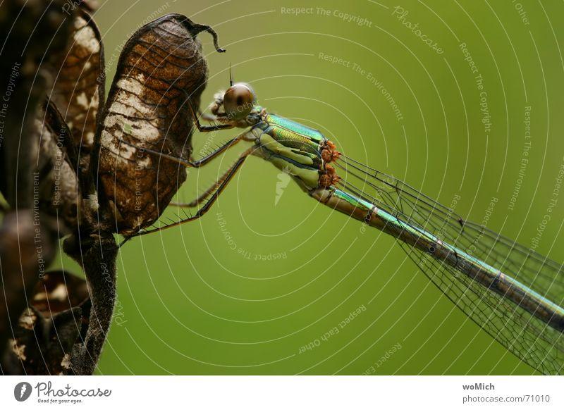 3farbige Libelle Insekt Teich Pause festhalten gelbgrüngold Auge Garten Detailaufnahme Flügel vertrocknete blüte Natur Makroaufnahme Anschnitt
