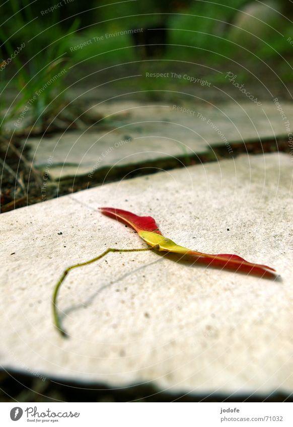 herbstliche ahornnase Natur Baum Pflanze rot Sommer Herbst Gras Garten Stein Bodenbelag Samen Ahorn