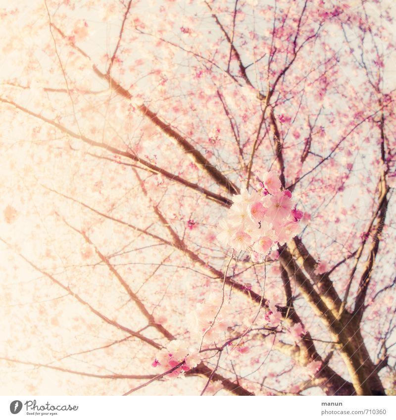 himmelwärts Natur Frühling Schönes Wetter Baum Blüte Kirschblüten Kirschblütenfest Zierkirsche Frühlingsfarbe Frühlingstag Frühlingsblume Frühblüher hell rosa