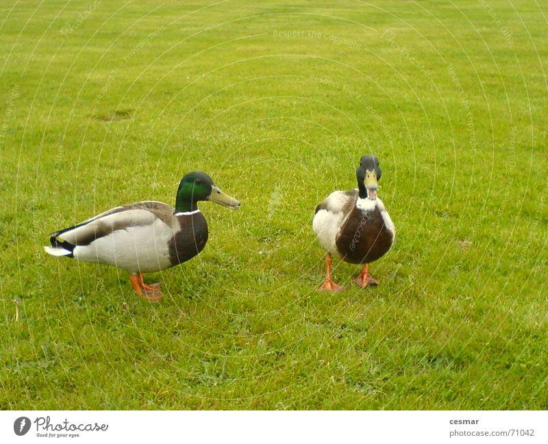 Ducks of Netherlands grün Gras 2 Vogel Tierpaar paarweise Ente