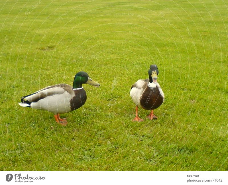 Ducks of Netherlands Vogel Gras grün 2 Ente paarweise Tierpaar