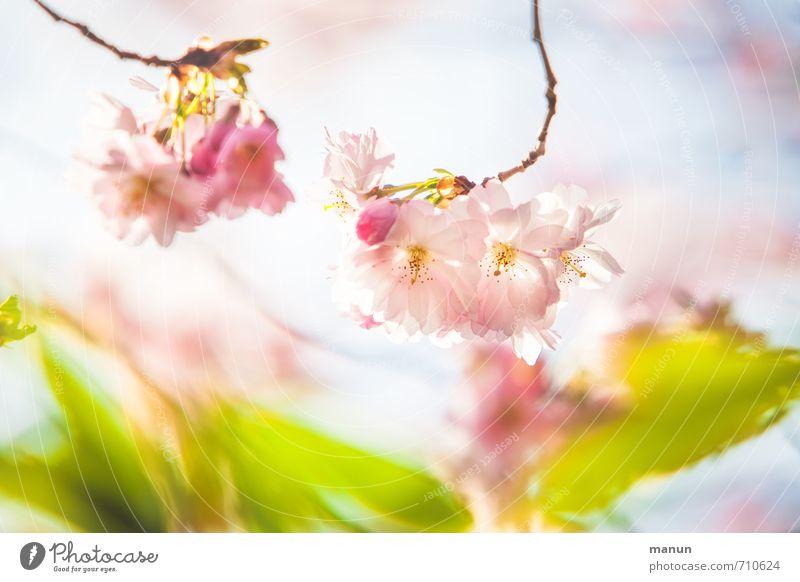 Zartkirsche Natur Frühling Baum Blatt Blüte Kirschblüten Frühlingsfarbe Frühlingstag Frühlingsgefühle Zierkirsche natürlich rosa Farbfoto Außenaufnahme