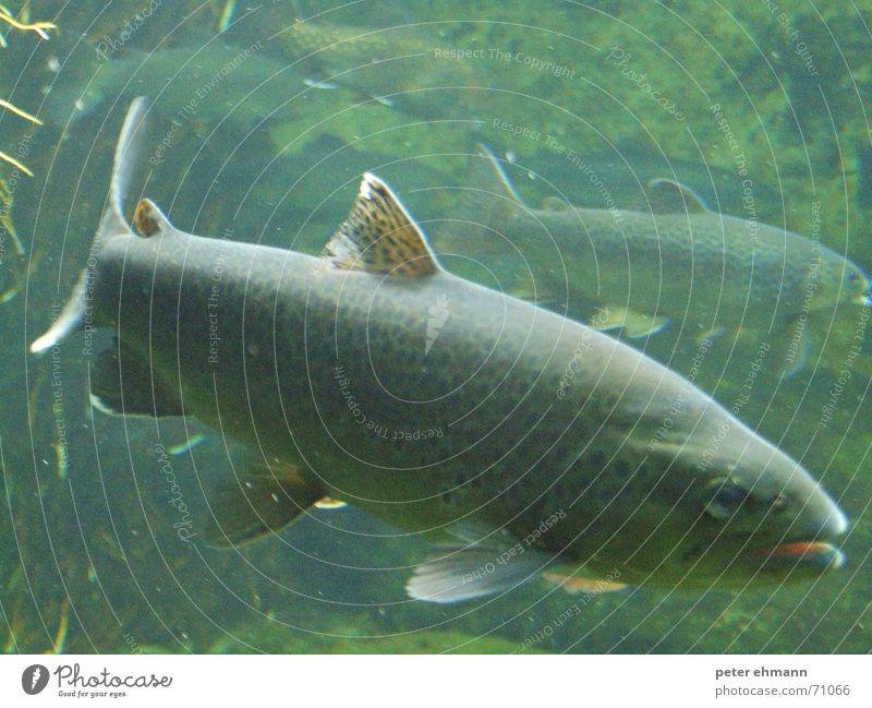 Forelle ? Kieme Aquarium nass Algen grün Meer Angelrute Angeln Meeresfrüchte Fisch Wasser Auge Maul Schwimmhilfe Schwarm fish Meerestier Ackerbau