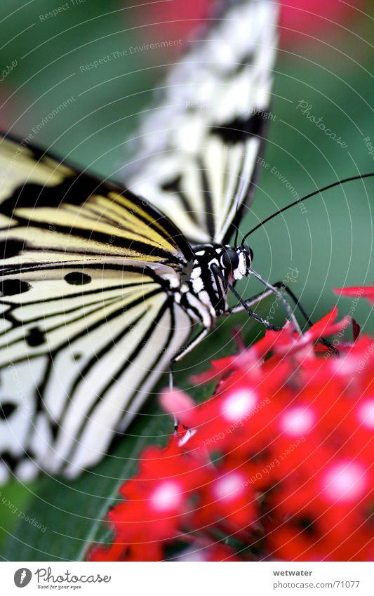 Makro Schmetterling Natur weiß rot Sommer Blume klein Blüte Beine fliegen Flügel Insekt Urwald exotisch zerbrechlich Fühler