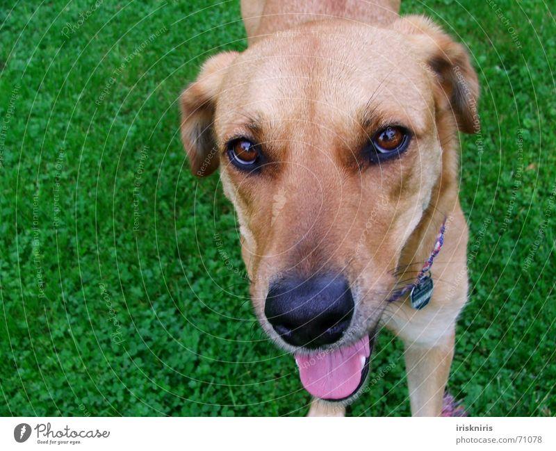 Gibst Du mir ein Leckerli? grün Auge Tier Gras Hund hell braun rosa Nase süß niedlich Wunsch Fell feucht Zunge Kindererziehung