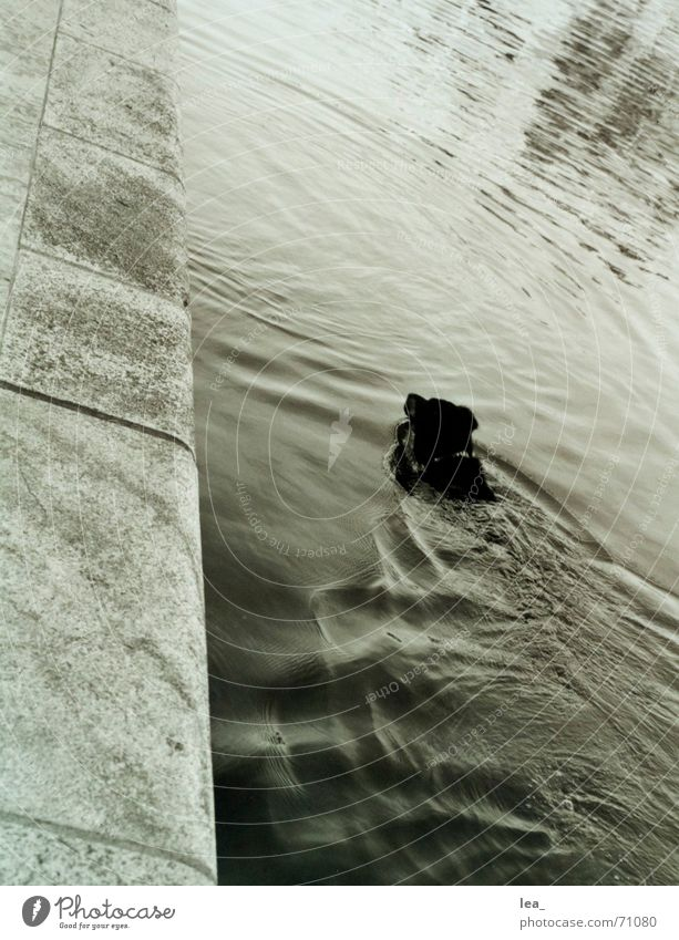 badespass Hund Main Mauer Kreis Reflexion & Spiegelung Würzburg Schwimmen & Baden Wasser Schwarzweißfoto verrückt mainkai Neigung