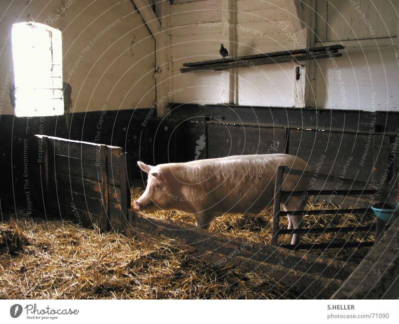 glückliches Schwein ruhig Glück rosa Frieden Bauernhof Vergangenheit Säugetier Taube Stroh Stall ursprünglich Sau Landleben