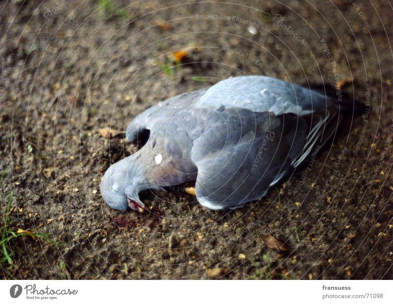 gefallen Tier Tod Vogel Erde schlafen Bodenbelag Feder Taube mögen friedlich blau-grau