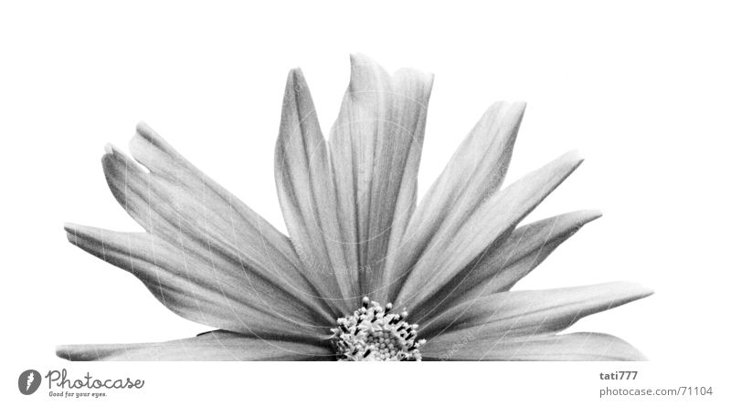 halbe Blume Blüte Sommer Hälfte Pflanze Schwarzweißfoto