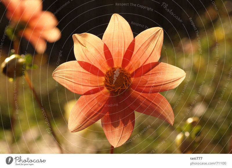 Blümchen Blume Pflanze Sommer Blüte Gegenlicht Garten Blütenknospen Natur