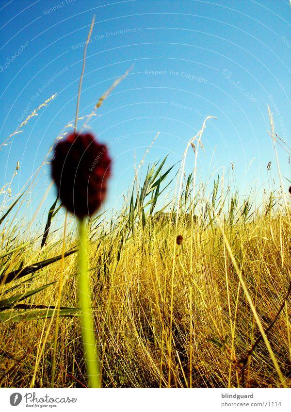 Warten ... Himmel Blume blau Feld gold hoch Wachstum Ernte Korn Ähren rasenmähen Kornbrand Unkraut