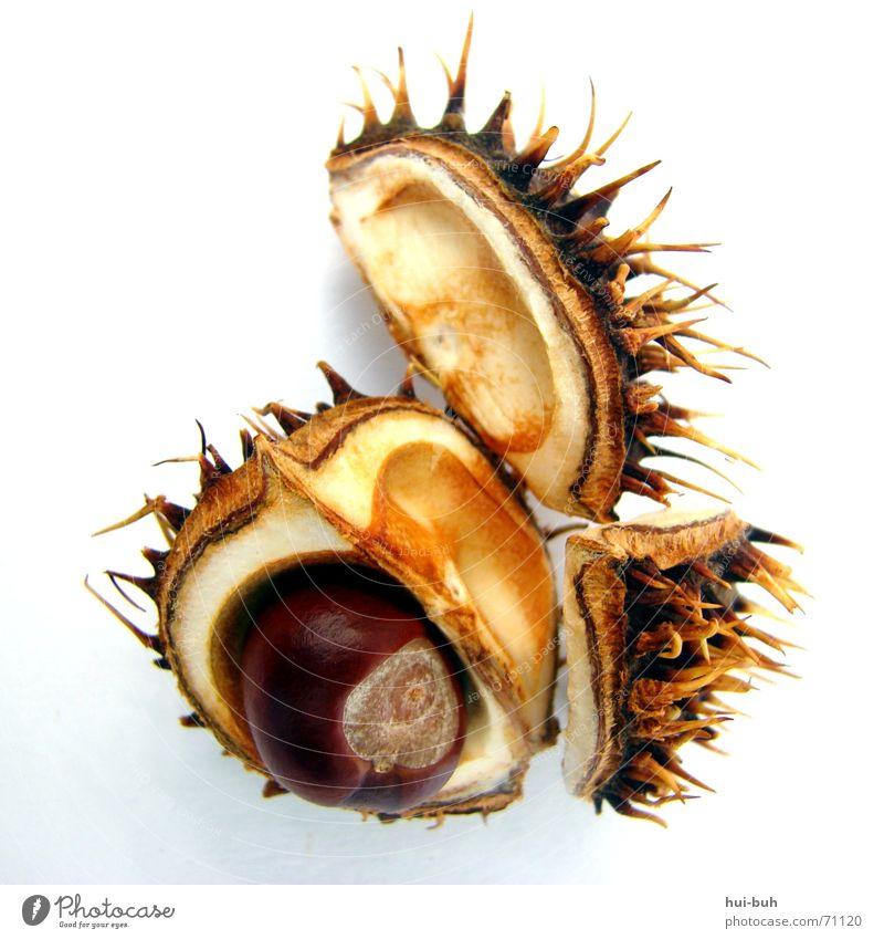 baby kastanie weiß Baum Ernährung braun klein 3 Erde süß Bodenbelag fallen Spitze Schmerz lecker Geborgenheit fein Schalen & Schüsseln
